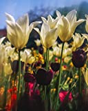 Title=Close-Up Of Tulips In Merrion Square Garden Dublin Ireland Artist=The Irish Image Collection / Design Pics Product Type=Fine Art Print Publisher=Design Pics