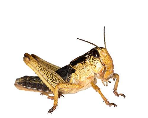Heuschrecken subadult 100 Stück Wanderheuschrecken Futterinsekten Reptilienfutter