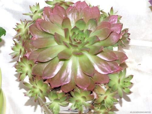 50Pcs Sempervivum Tectorum Semillas - Samen Sukkulenten Blumensamen Sementes (Guan-Yinlian): 13