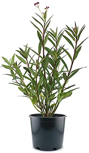 AMERICAN PLANT EXCHANGE Milkweed Monarch Butterfly Attractant Live Plant, 6'...