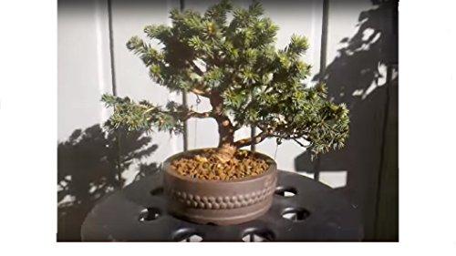 Picea Omorika ~ Serbische Fichte ~...