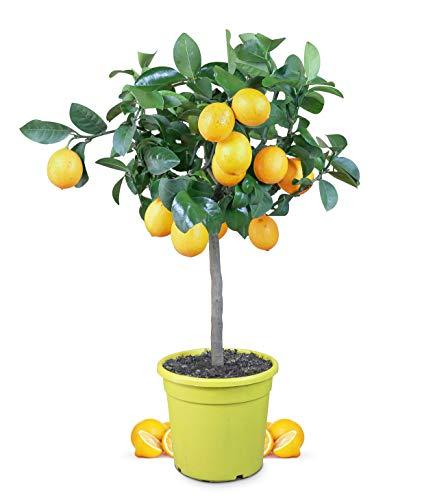 Meine Orangerie Meyer-Zitrone - echte Zitruspflanze - veredelter Zitronenbaum im 6 Liter Topf - Citrus Limon \'meyeri\' - Meyer Lemon - Fruchtreife Zitronen Pflanze in Gärtnerqualität