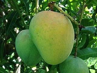 1 Mango Tree (Alphonso Variety) Fruit Plant