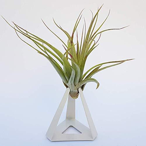 TILLANDSIAS PLANTA AÉREA – Planta área tillandasia XL con soporte metálico - Planta suculenta de interior (Blanco)