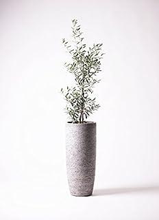 HitoHana(ひとはな) オリーブの木8号チプレッシーノ エコストーントールタイプGray
