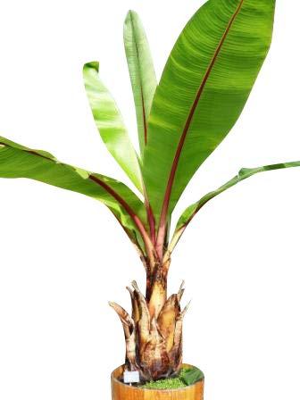 2 Samen Packungen Schnee-Banane -ensete glaucum- **Frosthart und robust**