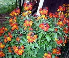 Bobby-Seeds Blumensamen 2-jährig Fire King Goldlack Portion