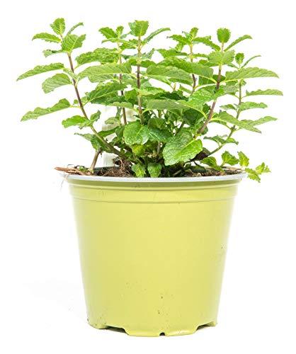 mgc24 Mojitominze, echte frische Kräuter Pflanzen im 14cm Topf, Mentha arvensis, Höhe ca. 10cm
