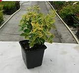 SB Euonymus Fortunei Emerald n Gold Spindle Evergreen Shrub Plant 9cm (3)