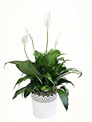 peace lily plant for sale - Tall House Plants