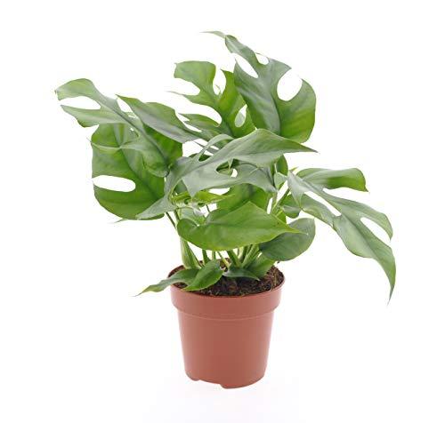 Zimmerpflanze – Fensterblatt –...