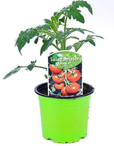 Tomatenpflanze, Previa F1, Veredelte Rundtomate, Stabtomate, Tomatenpflanzen