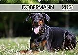 Dobermann 2021 (Wandkalender 2021 DIN A3 quer)