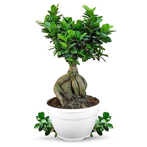 Meine Orangerie Bonsai \'Ficus Ginseng\' - Ficus Microcarpa - Chinesischer Feigenbaum - Bonsai Tree - echte Bonsai-Pflanze für drinnen und draußen - Lorbeerfeige - Ficus Retusa