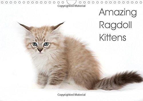Amazing Ragdoll Kittens 2016: beautyfull little ragdoll Kittens (Calvendo Animals)