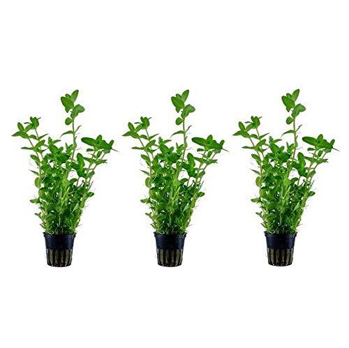 Aquarium Pflanze 3 Stück Wasserpflanze Bacopa caroliniana Nr.043Aquariumpflanzen Set