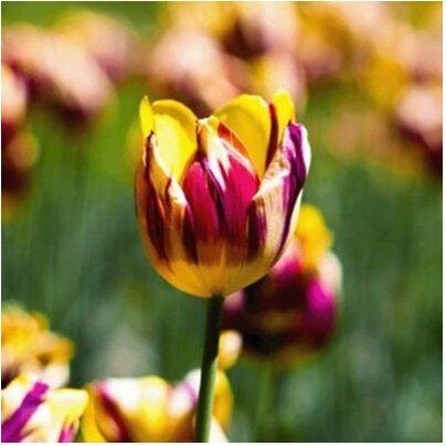 Rare Tulipes arc Fleurs Graines d'extérieur Bonsai Plantes en pot de fleurs pour Mini Décor de jardin Facile à cultiver 120 pcs/sac 13