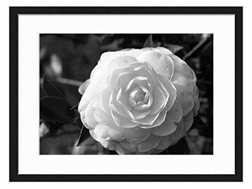 Pink Camilia - Art Print Wall Solid Wood Framed Picture (Black & White 20x14 inches)
