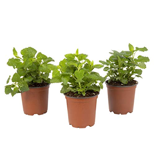 The Three Company Live Herb 1 Pint Aromatic and Edible Lemon Balm (3 Per Pack),...