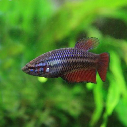 (熱帯魚)ベタ トラディショナル メス(色おまかせ)(約2-3cm)(3匹)[生体]