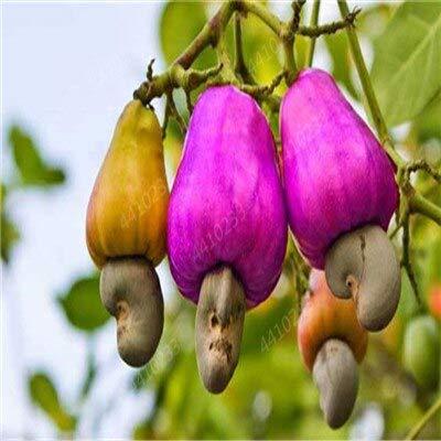 GETSO Gartenpflanze 5 PCS Cashew-Baum-Samen, Anacardium Ocntale, seltene Tropische Pflanze Baum Fruchtsamen Freies Verschiffen: 7
