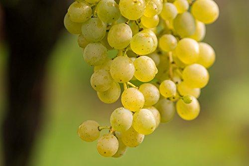 Vitis hell Weintrauben Weintraube Weinrebe Wein 60-100 cm im 2 Liter Topf