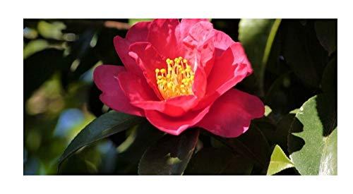 Stk - 1x Camellia japonica Dr. King Kamelie - Garten Pflanzen K-P487 - Seeds Plants Shop Samenbank Pfullingen Patrik Ipsa