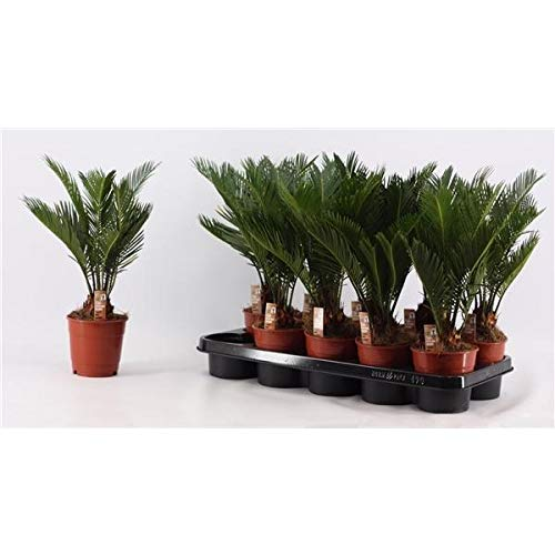Cycas Revoluta ca. 25 cm 2 Wedel Palmfarn Sagopalme Zimmerpflanze