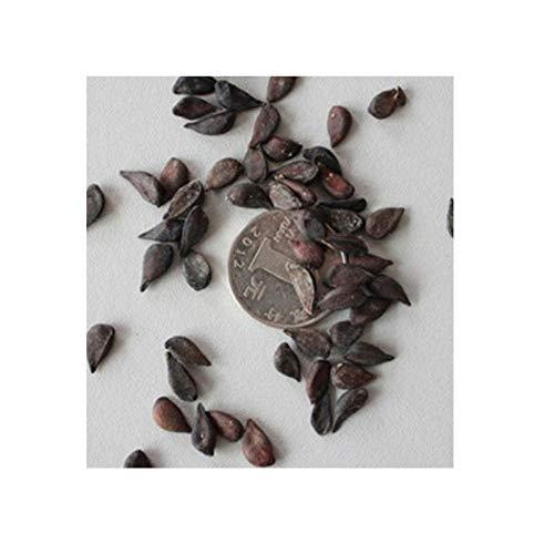 Semilla de peral, semilla de manzano, semilla de árbol sorbus, pera dorada injertada 300 granos