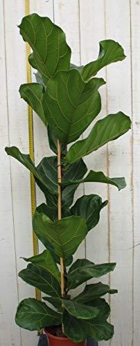 Kamerplant groot Ficus lyrata 100 cm