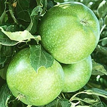 Granny Smith Apfelbaum 10 Samen von