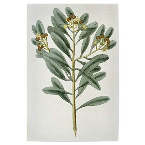 artboxONE Poster 30x20 cm Natur Zimtpflanze hochwertiger Design Kunstdruck - Bild Science cannelle cinnamomum