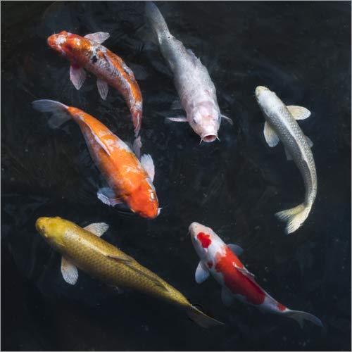 Póster 70 x 70 cm: Colorful koi Carp de Jan Christopher Becke - impresión artística, Nuevo póster artístico