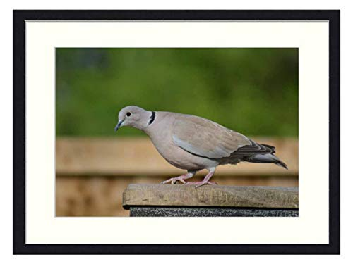 OiArt Wall Art Canvas Prints Wood Framed Paintings Artworks Pictures(20x14 inch) - Ring-Neck Dove Streptopelia Capicola Cape Dove Bird