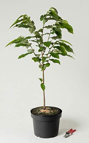 Indianerbanane - Asimina triloba 80-100 cm hoch - Garten von Ehren