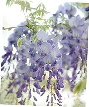 VBII 1 Bare Root Wisteria floribunda Lawrence - RK308