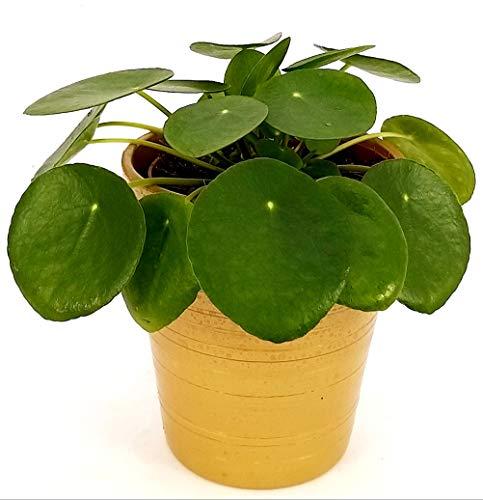 PILEA PEPEROMIOIDES IN VASO CERAMICA ORO, pianta vera