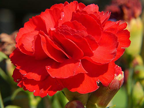 Nelke Rot Riesen Chabaud 30 Samen-, Carnation, Dianthus Samen,gefüllte,duftend