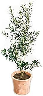 オリーブの木 テラコッタ鉢植え 観葉植物 本物 鉢植え ガーデニング インテリア 大型 おしゃれ バルコニー