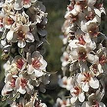 Verbascum chaixii Album Wedding Candles 1,000 Seeds