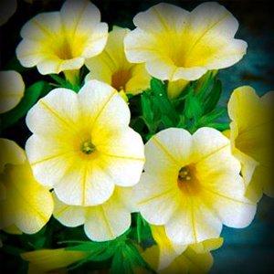 Bébé Canard Jaune Pétunia Fleur Graine paquet de 100 graines Stratisfied