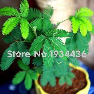 11.11 Sur Sale-- Magical Fun balcon plantes, graines, plantes Bashfulgrass instantanément danse, capteurs rapidement, se déplaçant rapidement t