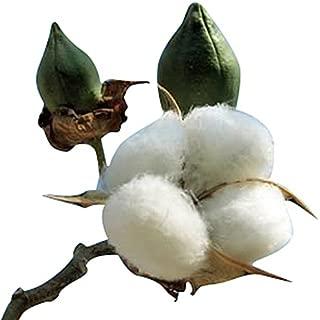 Cotton Plant Seeds - GOSS. HIRSUTUM - 20 Seeds