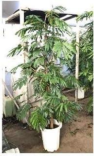 プランツネット 観葉植物 ネムノキ エバーフレッシュ 10号 K0109304