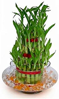 Bonsai 3 Layer Lucky Live Bamboo Plant Indoors Outdoors With Glass Pot""