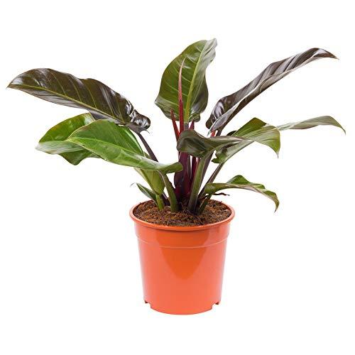 Pflanzen Kölle Philodendron Imperial Red, Baumfreund, Wuchshöhe ca. 80 cm, Topfgröße 24 cm