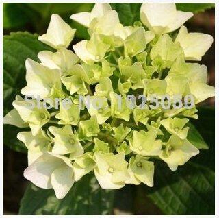 graines de hortensia 100pcs / pack, balcon en pot, la plantation est simple, le taux de bourgeonnement de 95%, l'absorption de rayonnement, couleurs mélangées