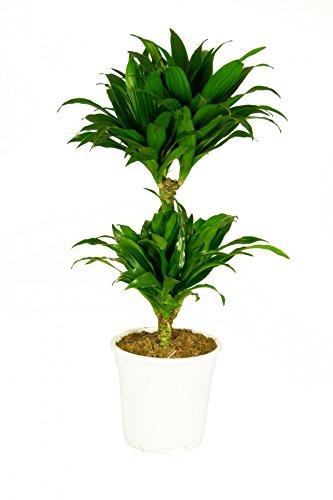 Dracaena deremensis `Compacta´, im 17cm Topf, Drachenbaum, ca. 60 cm hoch