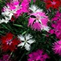 Outsidepride Dianthus - Superbus Mix