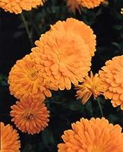 Calendula Prince Series Orange 50 Seeds #PG02